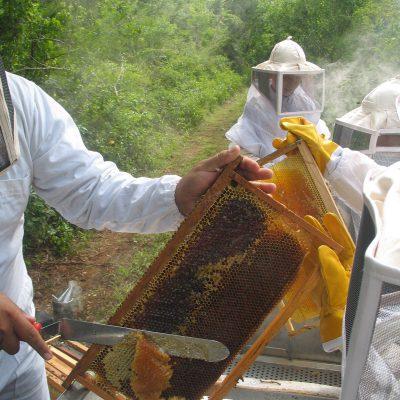 Apicultores orgánicos trabajando en México