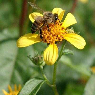 Fleur de Tahonal du Mexique