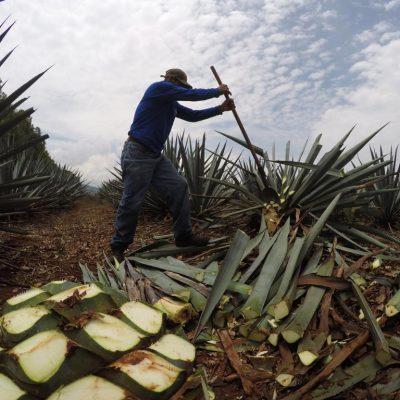 Récolte d'agaves au Mexique