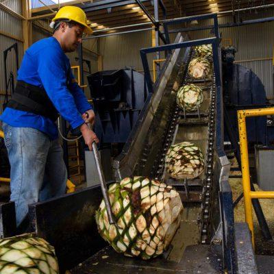 Traitement des agaves au Mexique